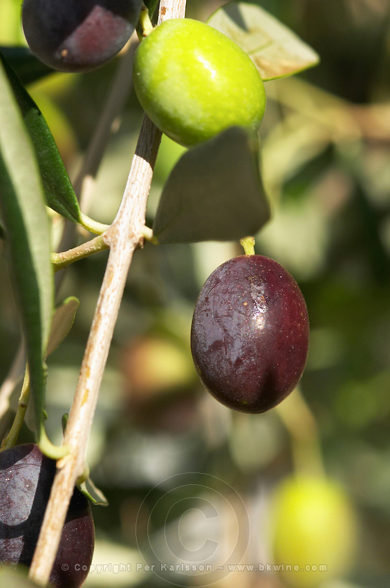 In the courtyard, a green and a black olive on an olive branch. Chateau Mourgues du Gres Grès, Costieres de Nimes, Bouches du Rhone, Provence, France, Europe