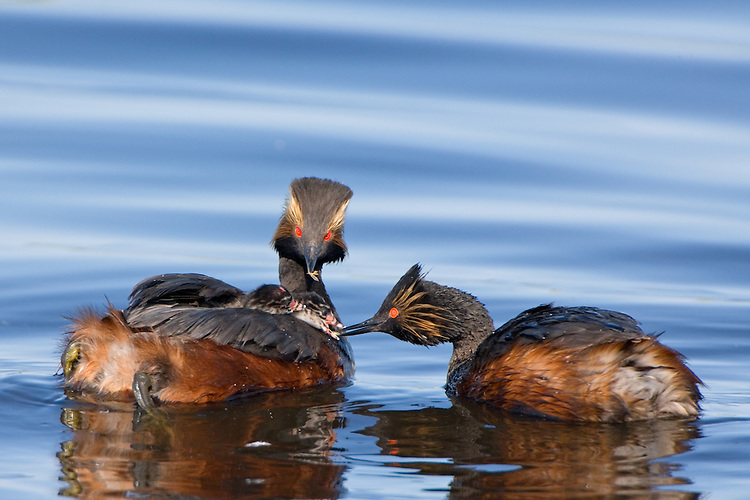 Pair of Eared Grebes feeding their young