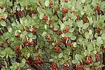 Manzanita (Arctostaphylos sp.) berries, near Medford, Oregon