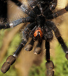 Tarantula, shot from beneath, showing fangs - captive  legs fearsome....
