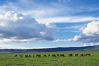 Wildebeeste or GNU (Connochaetes Taurinus) Ngorongoro Crater, Tanzania.