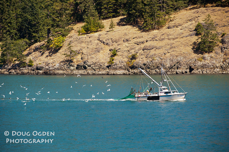 Commercial salmon fishing boat in North Puget Sound tailing Seagulls
