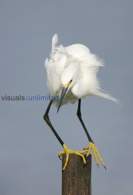 Snowy Egret ,Egretta thula,, Southern USA.