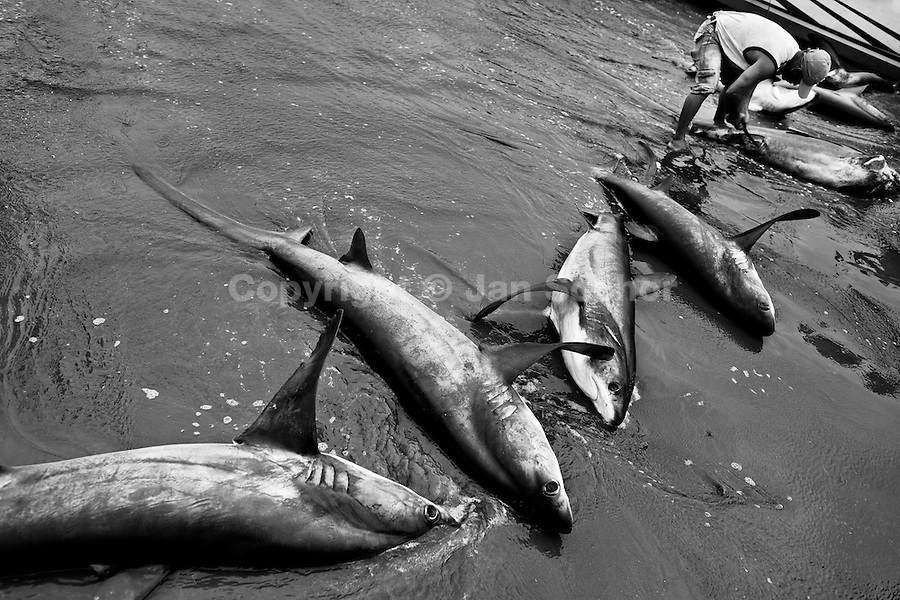Dead thresher sharks are being finned by a fisherman on the beach of Puerto Lopez, Ecuador, 6 April 2012. Every morning, hundreds of shark bodies and thousands of shark fins are sold on the Pacific coast of Ecuador. Although the targeted shark fishing remains illegal, the presidential decree allows free trade of shark fins from accidental by-catch. However, most of the shark species fished in Ecuadorean waters are considered as ?vulnerable to extinction? by the World Conservation Union (IUCN). Although fishing sharks barely sustain the livelihoods of many poor fishermen on Ecuadorean at the end of the shark fins business chain in Hong Kong they are sold as the most expensive seafood item in the world. The shark fins are primarily exported to China where the shark's fin soup is believed to boost sexual potency and increase vitality. Rapid economic growth across Asia in recent years has dramatically increased demand for the shark fins and has put many shark species populations on the road to extinction.