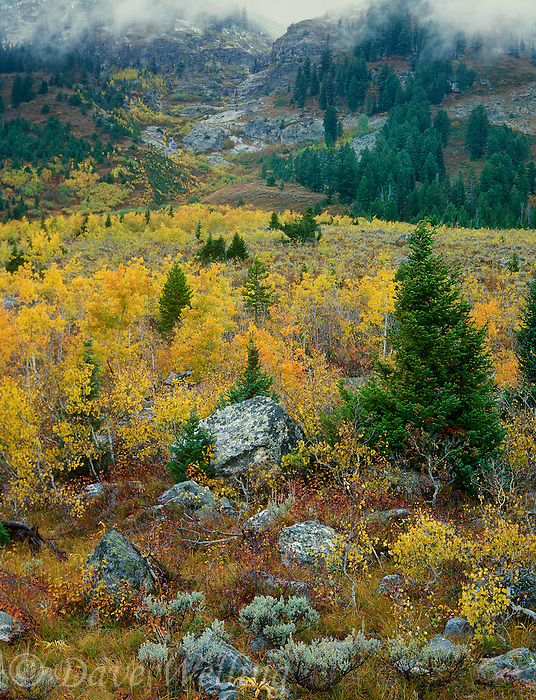 749450010 aspens populus tremuloides turned golden yellow with the tetons clouded in mist and fog in the background in lupine meadows grand teton national park wyoming