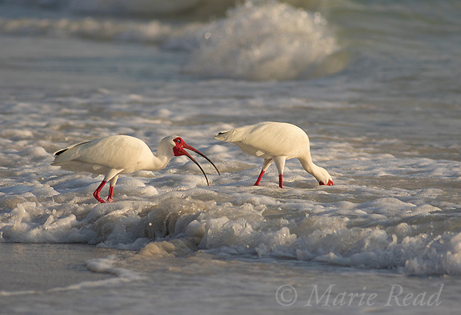 White Ibis (Eudocimus albus), two adults in breeding plumage foraging in surf, sidelighting, Fort De Soto Park, Florida, USA