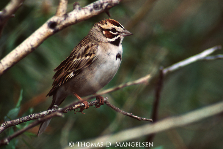 Lark Sparrow perched in a tree.