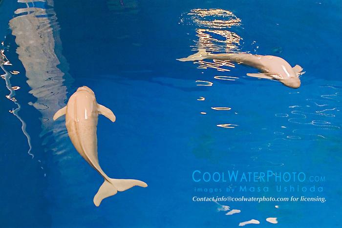 finless porpoises, Neophocaena phocaenoides (c), Info-Pacific Ocean