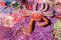 Red-ridged Clinging Crab, Mithrax forceps, with Sargeant major eggs, Bonaire, Netherlands Antilles, Caribbean