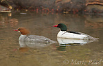 Common Mergansers (Mergus merganser) pair swimming, spring, New York, USA