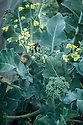 Broccoli that has bolted -prematurely flowered and order to set seed, early August.