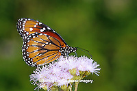 03538-00101 Soldier butterfly (Danaus eresimus) on Greg's Mistflower (Eupatorium gregii), Hidalgo Co.  TX