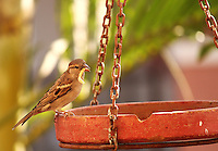 Stock photo: House sparrow sitting on a bird feeder pot with food in the bill.