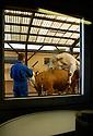 08/06/04 - MONTROND LES BAINS - LOIRE - FRANCE - Prelevement de semences CHAROLAIS - Photo Jerome CHABANNE