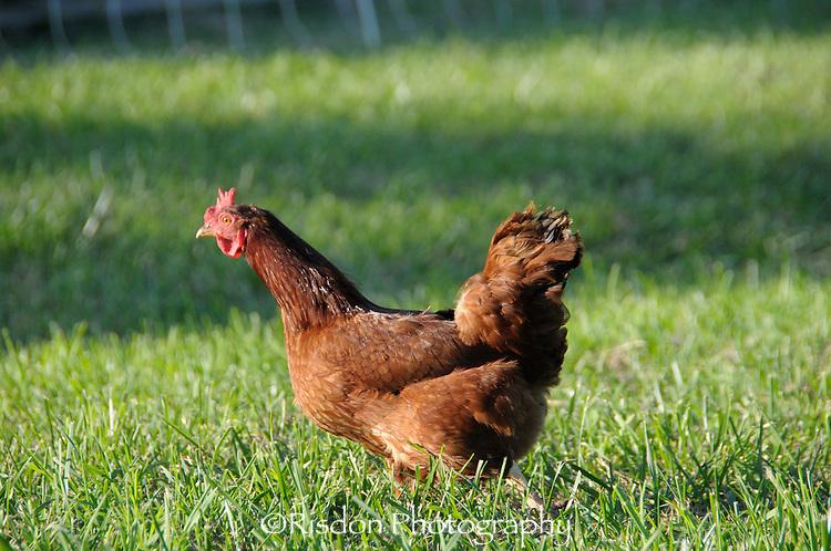 Chicken running in grass