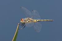 Red-veined Pennant (Celithemis bertha) Dragonfly - Female, Jonathan Dickinson State Park, Hobe Sound, Martin County, Florida