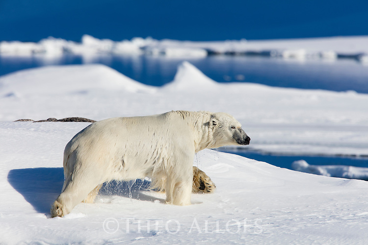 Norway, Svalbard, polar bear walking in snow on shore after swimming across fjord