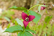 Red Trillium - Trillium erectum - on the side of Lowes Path in the New Hampshire White Mountains during the spring months. This plant is part of the Lily family and has three maroon or reddish brown petals. This flower also has an unpleasant odor. Red Trillium is also known as Stinking Benjamin or Stinking Willie.