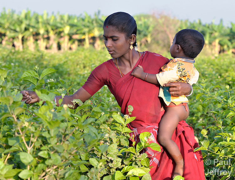 Carrying her child, a woman harvests jasmine blossoms in Nallur, a small village in the state of Tamil Nadu in southern India.