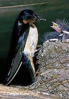 BA06-001z   Barn Swallow - parent at nest full of  young - Hirundo rustica