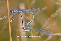 06105-00109 Familiar Bluets (Enallagma civile) damselflies male & female in copulation wheel, mating Marion Co.  IL