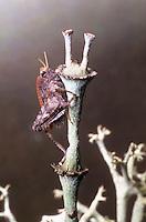 Zweipunkt-Dornschrecke, Zweifleck-Dornschrecke, Tetrix bipunctata, Two spotted groundhopper, Dornschrecken, Tetrigidae, grouse locusts, pygmy locusts, groundhoppers, pygmy grasshoppers