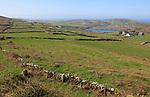 Landscape view over farmland, Cape Clear Island, County Cork, Ireland, Irish Republic view to South Harbour