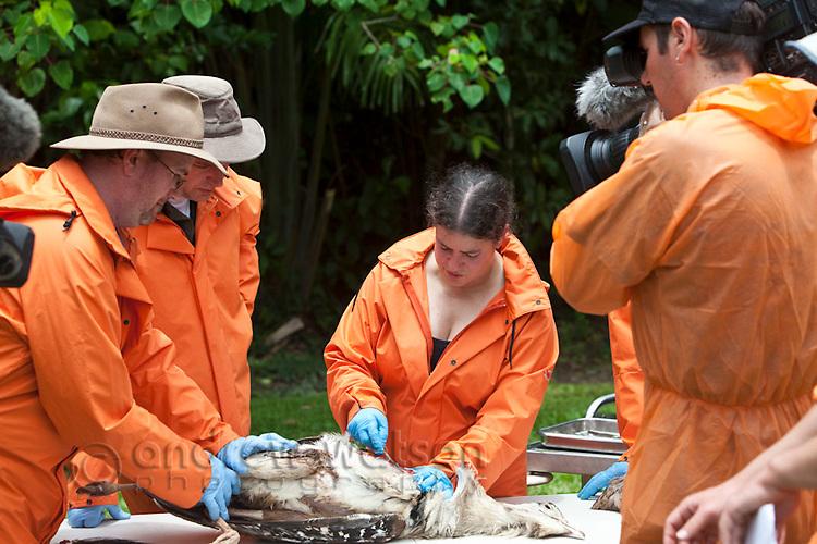 Channel 4 UK - Inside Nature's Giants.  Cassowary shoot, Mission Beach, 27 Nov 2010.