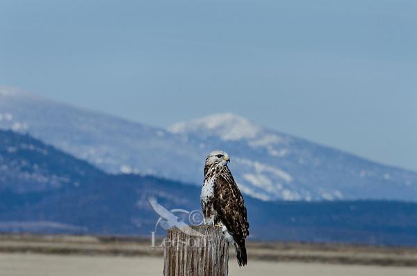Rough-legged Hawk or Rough-legged Buzzard (Buteo lagopus), Klamath Basin National Wildlife Refuges, OR/CA.  Feb-March.
