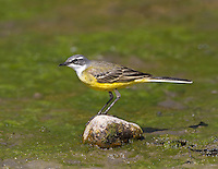 Iberian Yellow Wagtail - Motacilla flava iberiae