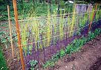 Peas staking with yellow and purple natural poles
