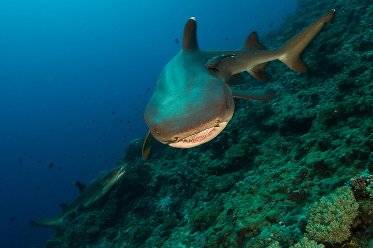 Whitetip reef shark (Triaenodon obesus), showing movement and motion, Fathers reefs, Kimbe Bay