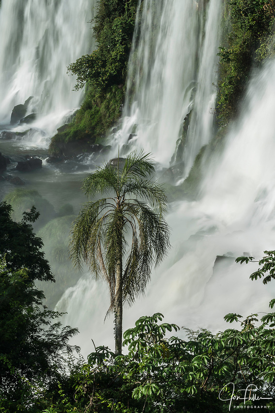 A palm tree in front of the lower Bossetti Falls in Iguazu National Park in Argentina.  A UNESCO World Heritage Site in South America.