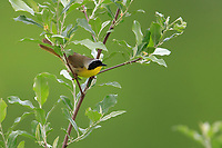 Common Yellowthroat (Geothlypis trichas trichas), male in breeding plumage on his breeding territory in Walkill River State Park, Vernon Township, Sussex, New Jersey.