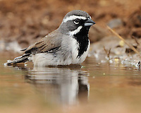 Black-throated Sparrow, South Texas ranch