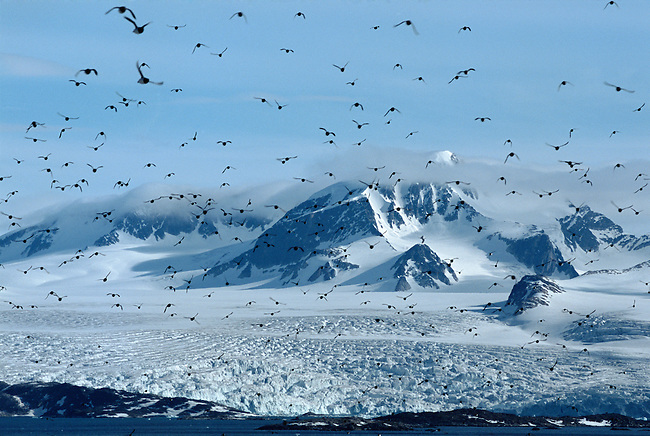 Little Auks / Dovekies fly in front of the Annanbreen Glacier on Amsterdam Island Spitsbergen