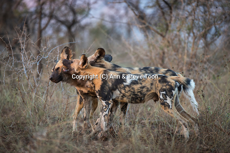 African wild dogs (Lycaon pictus), Zimanga private game reserve, KwaZulu-Natal, South Africa, June 2017