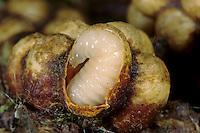 Ackerhummel, Acker-Hummel, Hummel, Nest, Hummelnest, Larve, Larven im Kokon, Bombus pascuorum, syn. Bombus agrorum, Megabombus pascuorum floralis, common carder bee