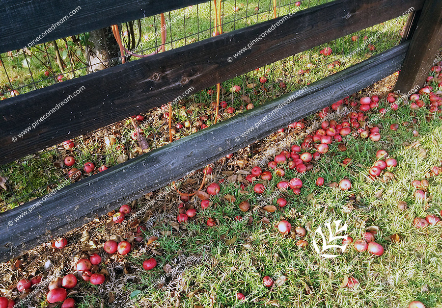 Stock photo: Small apples fallen from tree lying on grass near a wooden fence.