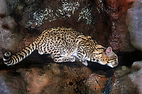 640514004 a wildlife rescue geoffroys cat felis geoffroyi pauses at a rock bound pond for a drink species is native to southeast asia