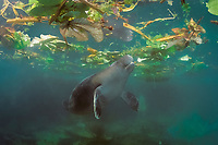 an Amazonian manatee, Trichechus inunguis ( c ), takes a breath at the surface, INPA/LMA, Amazonas, Brazil