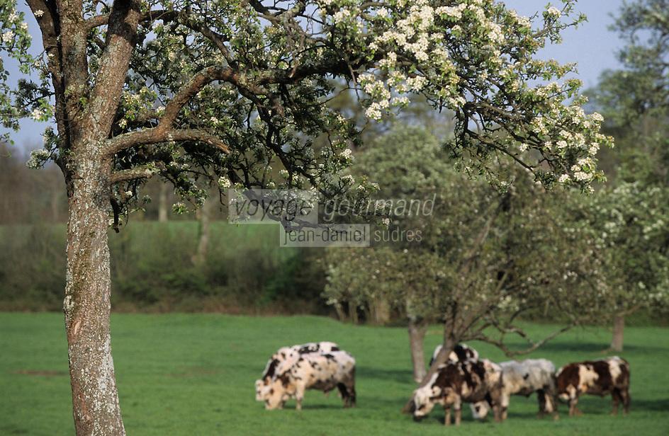 Europe/France/Normandie/Basse-Normandie/14/Calvados/Env. de Honfleur: Vaches de Normandie et pommiers dans le pays d'Auge