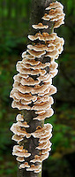 Turkey Tail (Trametes versicolor), a common bracket mushroom with a wide distribution in North America. Growing on a dead hardwood snag, Delaware County, Ohio, USA.