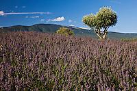Europe/France/Provence-Alpes-Côte d'Azur/84/Vaucluse/Bédoin:Lavande, Olivier et sommet du Mont Ventoux