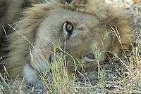 Resting but alert male lion (panthera leo).<br /> The Xakanaxa side of Moremi in the Okavango Delta, Botswana.<br /> September 2007.