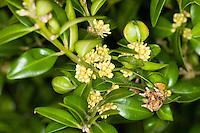 Buchsbaum, Buchs, blühend, Buxus sempervirens, common box, European box, boxwood, buis commun, buis toujours vert