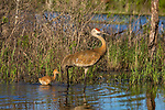 Sandhill cranes -  adult and colt walking in a northern Wisconsin wetland.
