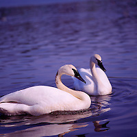 Trumpeter Swans (Cygnus buccinator aka Olor buccinator) swimming in Lake - North American Birds and Swans