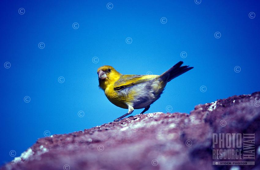 Nihoa Finch-male-Nihoa.  Endangered Species