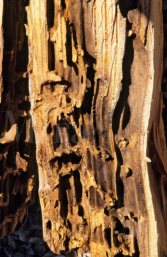 Wood borer damage in pine wood, subsequently colonised by ants.